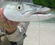 Fly Fishing for barracuda in Ascension Bay Mexico